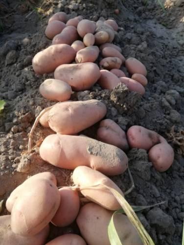ziemniaki bulwy cenyrolnicze pl bech