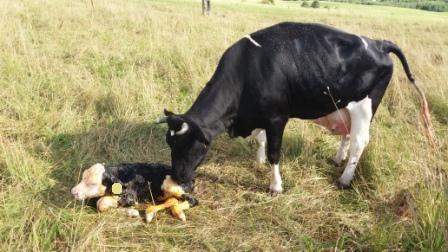 Spotyka się z młodym bykiem