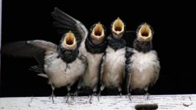 Jaskółki bez dostępu do chlewni. Czy są dowody naukowe, które potwierdzają transmisję wirusa ASF przez te ptaki?