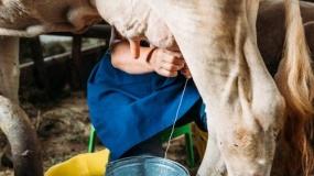Rolnik odbiera mleko cielętom? Hodowcy apelują o rzetelną informację o swojej pracy