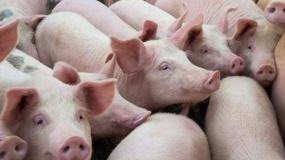 ASF w Chinach: jak wpłynie na globalne rynki rolne?