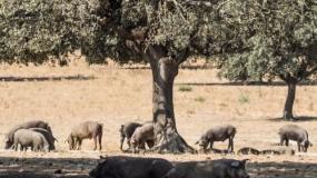 ASF, a świnie na wolnym wybiegu. Czy bioasekuracja jest możliwa?
