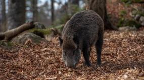 ASF, dziki, Dania, odstrzał dzików