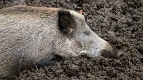 dziki, ASF, afrykański pomór świń