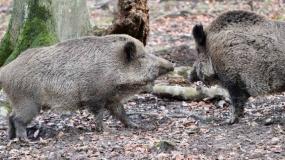 ASF, afrykański pomór świń, odstrzał dzików, odstrzał sanitarny