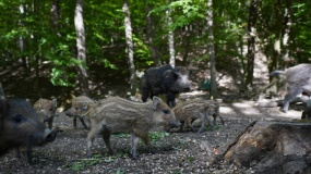 dziki, warchlaki, las, ASF, polowania, odstrzał sanitarny