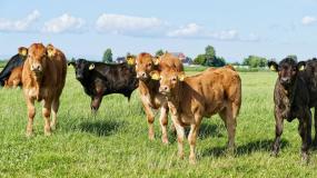 ceny bydła, ceny byków, ceny krów, ceny jałówek