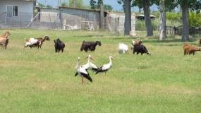 bociany, łąka, kozy, wypas