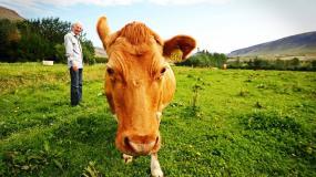 krowa, człowiek, pastwisko