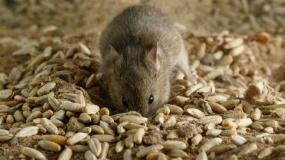 ziarno, mysz, hantawirus, gryzonie