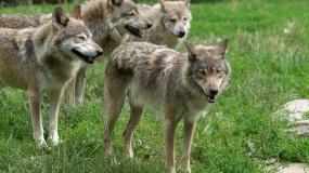 wilki, ASF, afrykański pomór świń, dziki