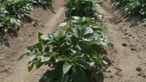 Uwaga na zielone bulwy ziemniaka! W tym roku 30% odpadów zebranej masy!