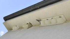 jaskółki, gniazda, oknówki, sztuczne gniazda