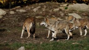 owce, wilki, ataki drapieżników
