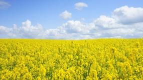 rzepak, zielony ład, środki ochrony roślin