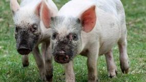 ceny tuczników, ceny świń, ceny żywca wieprzowego