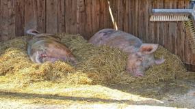 świnie, chlewnia, słoma