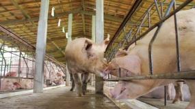 chiny, ceny świń w chinach, ceny żywca wieprzowego w Chinach
