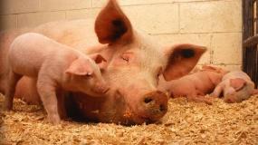 maciora, dopłaty, kryzys, trzoda chlewna, świnie, prosiaki