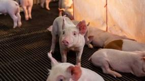 ASF, bioasekuracja, afrykański pomór świń
