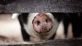 przeszczep, świnia, nerka