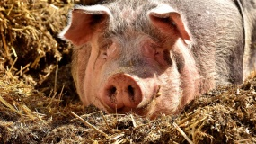ASF, afrykański pomór świń, Kepno