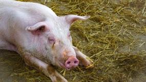 ASF, afrykański pomór świń, ognisko ASF