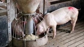 ceny tuczników, opłacalność hodowli, ceny świń