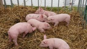 ASF, afrykański pomór świń, powiat piotrkowski