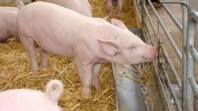 gobarto, gobarto500, hodowla świń, Janusz Terka
