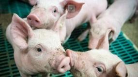 ASF, afrykański pomór świń, powiat międzychodzki