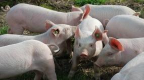 Rawicz, świnie w lesie, ASF