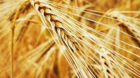 podatek rolny, żyto, średnia cena żyta, GUS